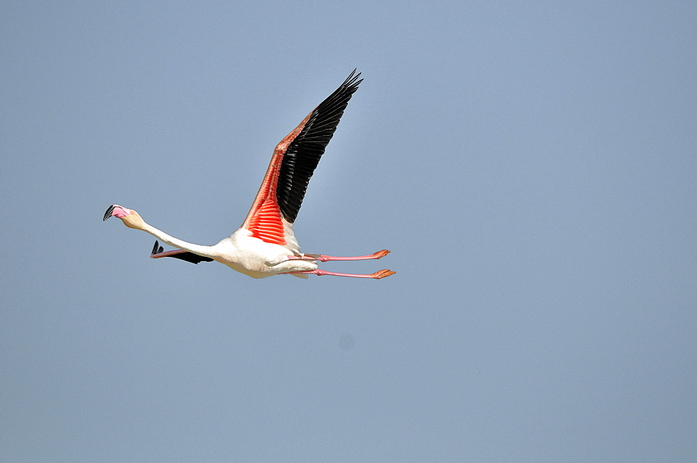 Great Flamingo in flight, Pont de Gau France