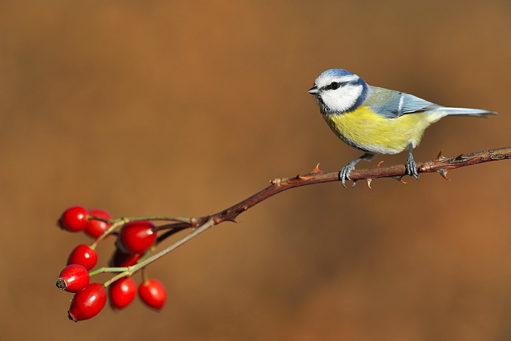 Blue tit on a branch of Rosehip, France
