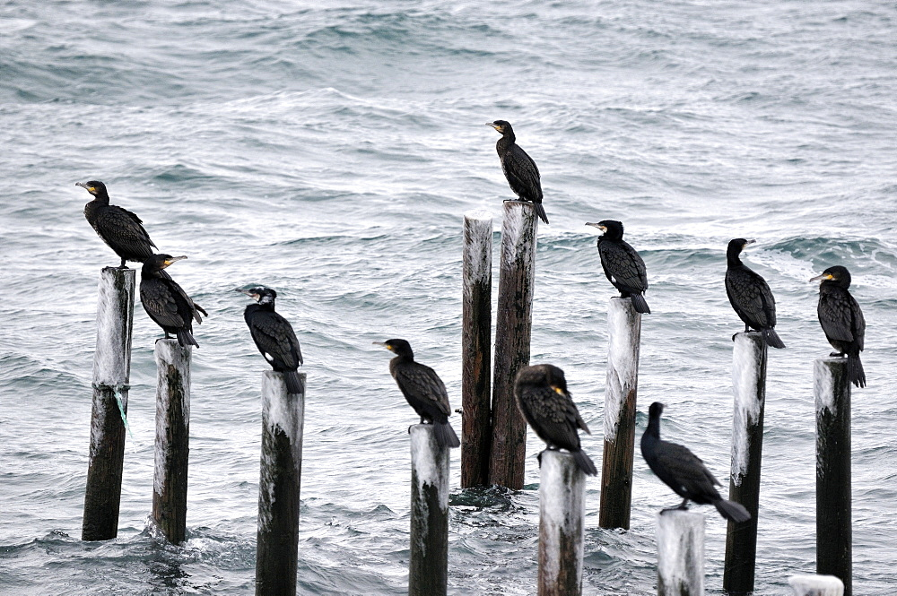 Great Cormorants on piles beside the fjord, Norway