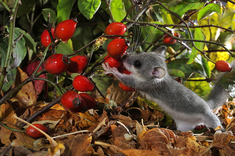 Young Fat Dormouse eating Rosehips, France