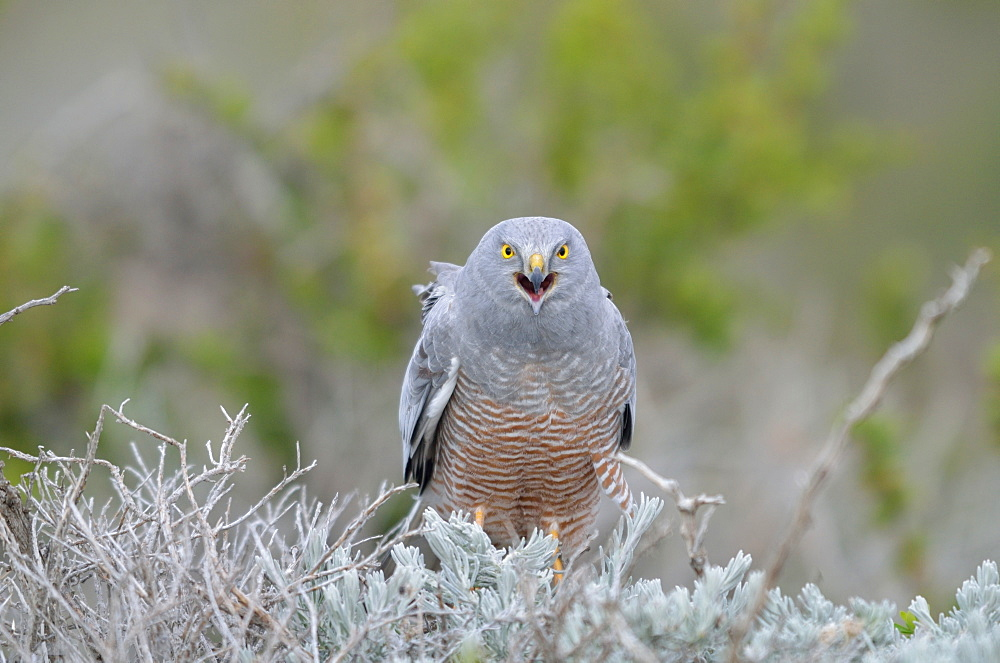 Male Cinereous Harrier on a bush, Argentina