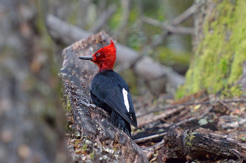 Magellanic Woodpecker male on dead wood, Argentina