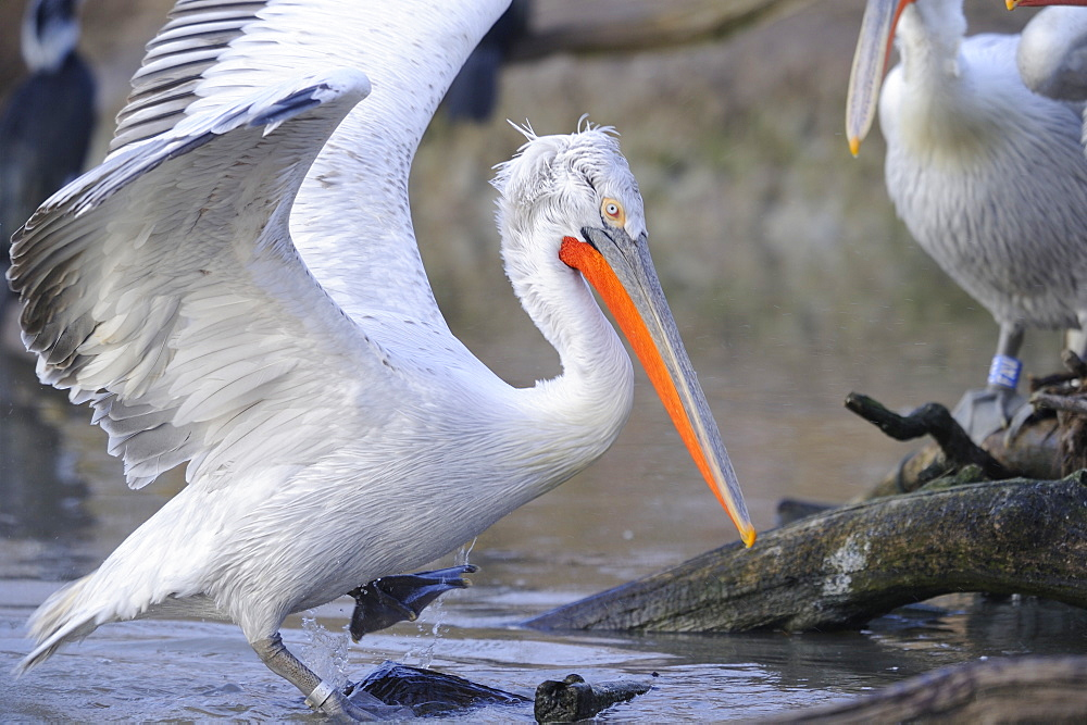 Dalmatian pelicans on the riverbank
