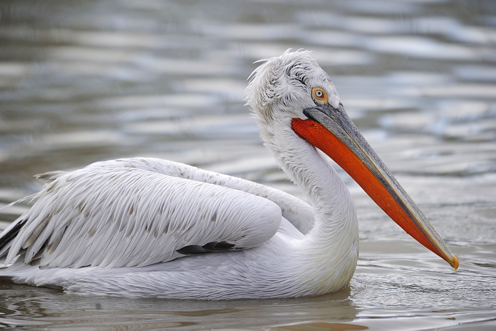Dalmatian pelican on water