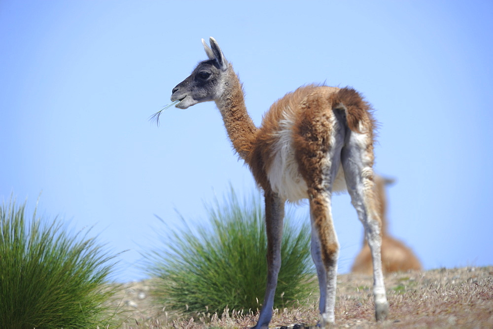 Guanaco in the steppe eating, Argentina