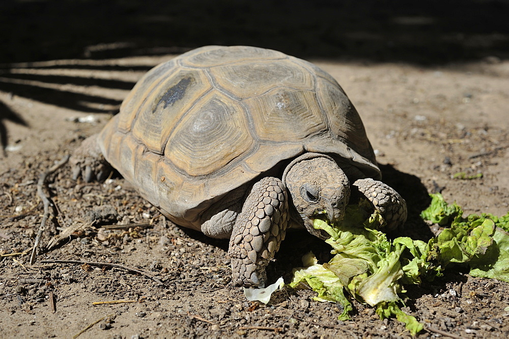 Chaco tortoise eating salad, Argentina