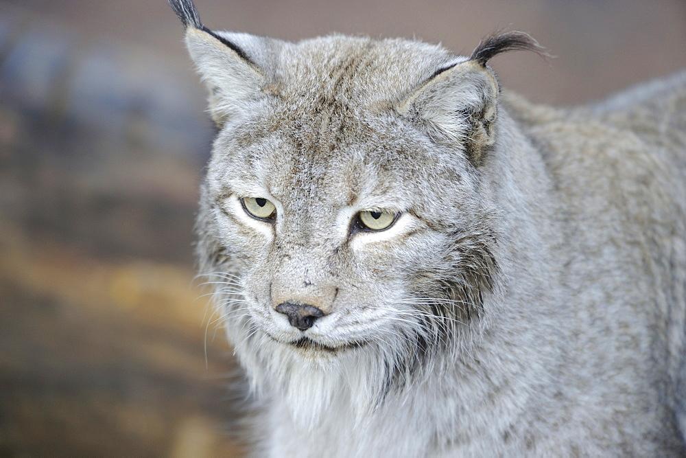 Portrait de Siberian lynx