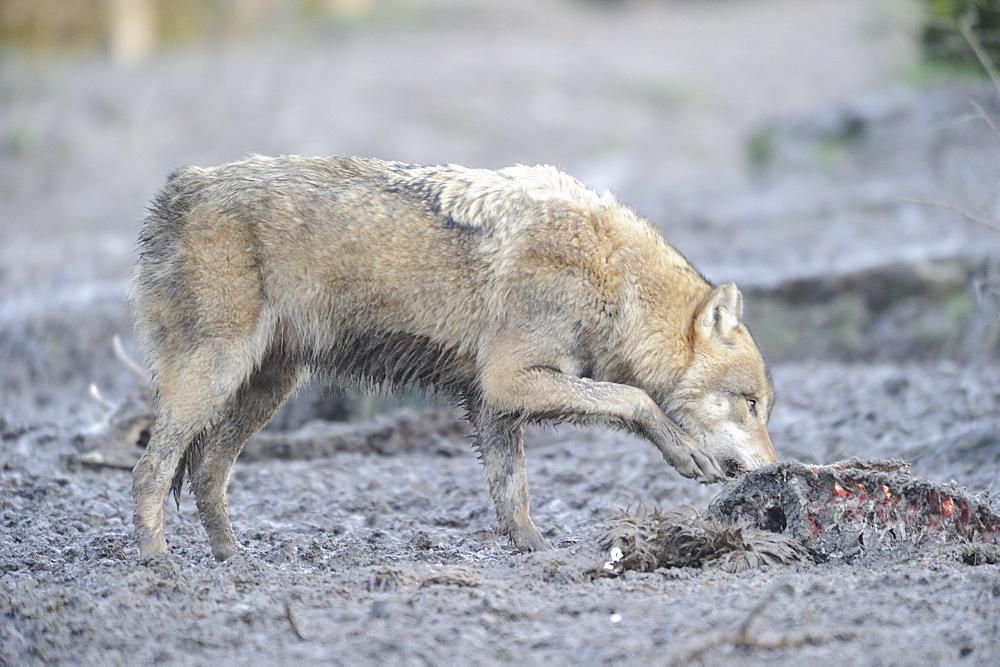 Gray wolf devouring a carcass