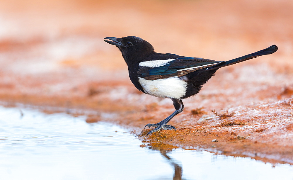 Black-billed Magpie to the water, Saragossa Aragon Spain