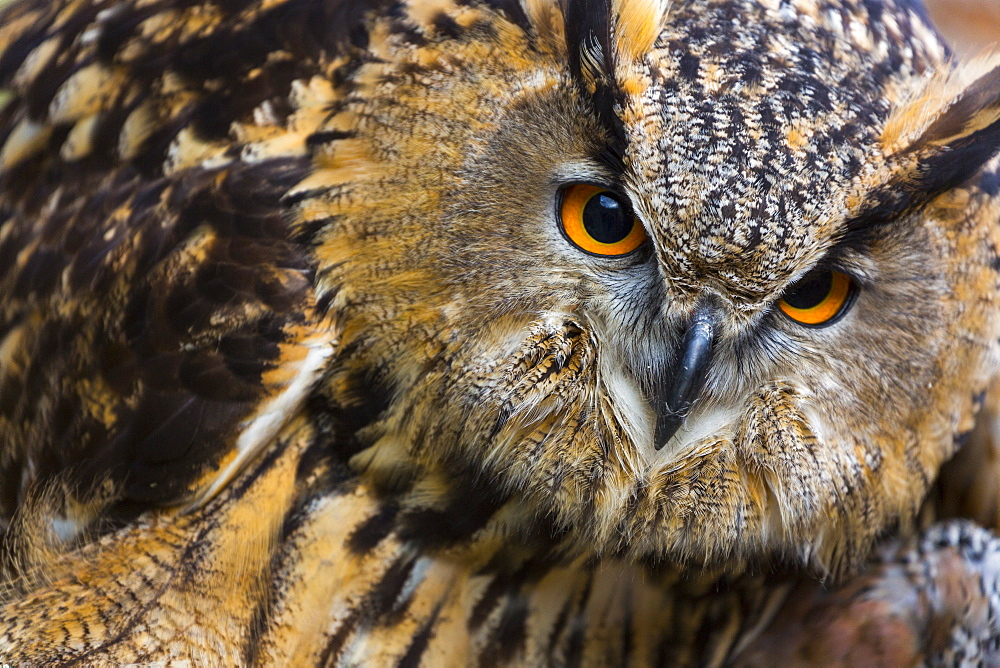 Portrait of Eurasian Eagle-owl, Cantabria Spain