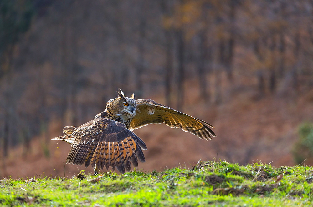 Eurasian Eagle-owl in flight near ground, Cantabria Spain