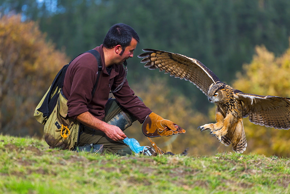 Eurasian Eagle-owl in flight and falconer, Cantabria Spain