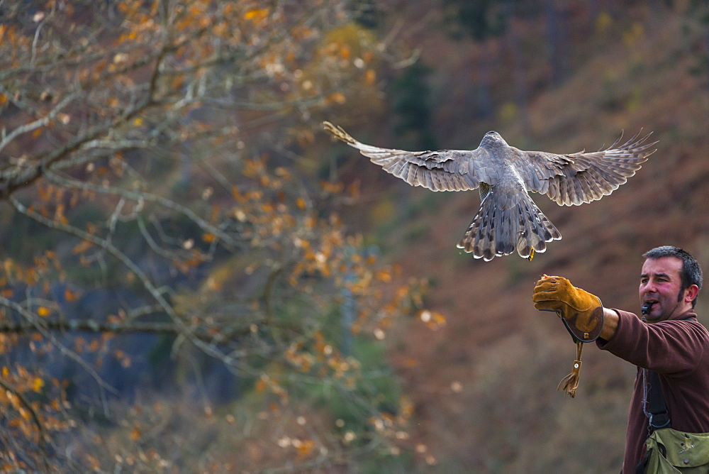 Northern Goshawk in flight and falconer, Cantabria Spain