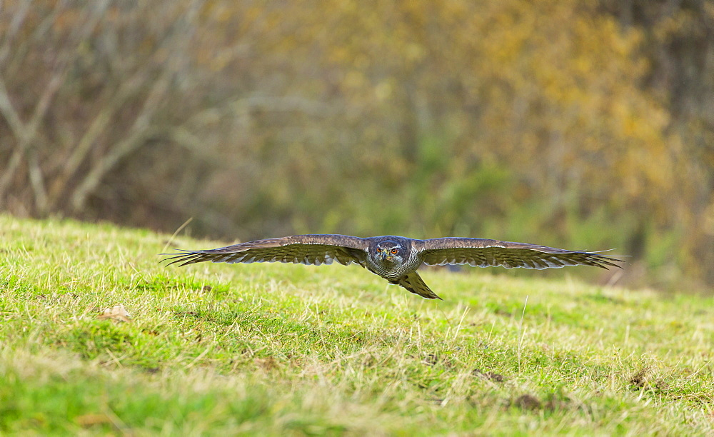 Northern Goshawk in flight near ground, Cantabria Spain