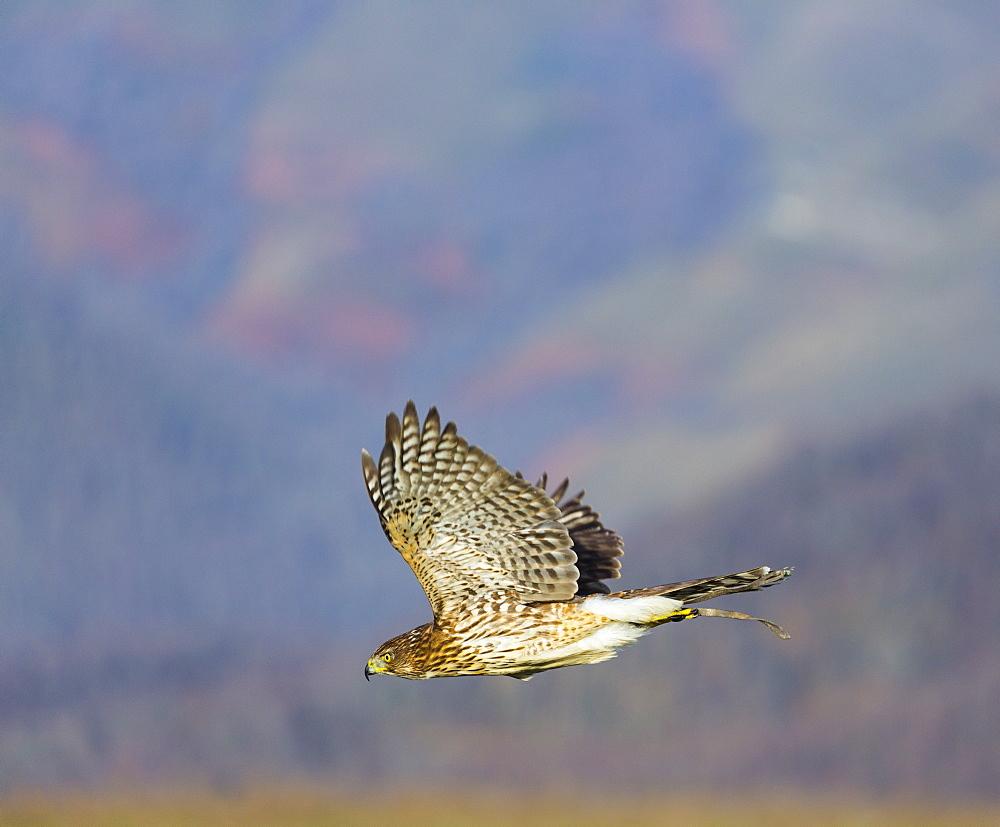 Northern Goshawk in flight , Cantabria Spain
