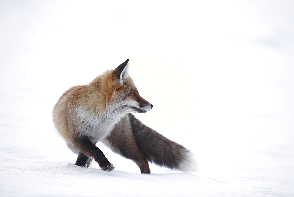 Red Fox in the snow, Jura France