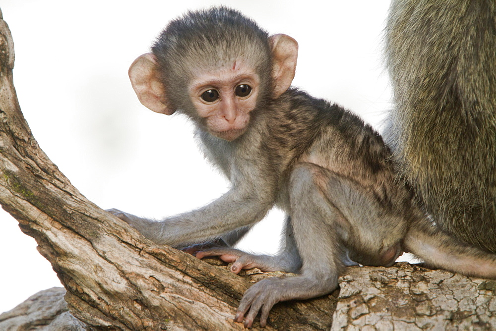 Young Green monkey on a branch, Kruger South Africa