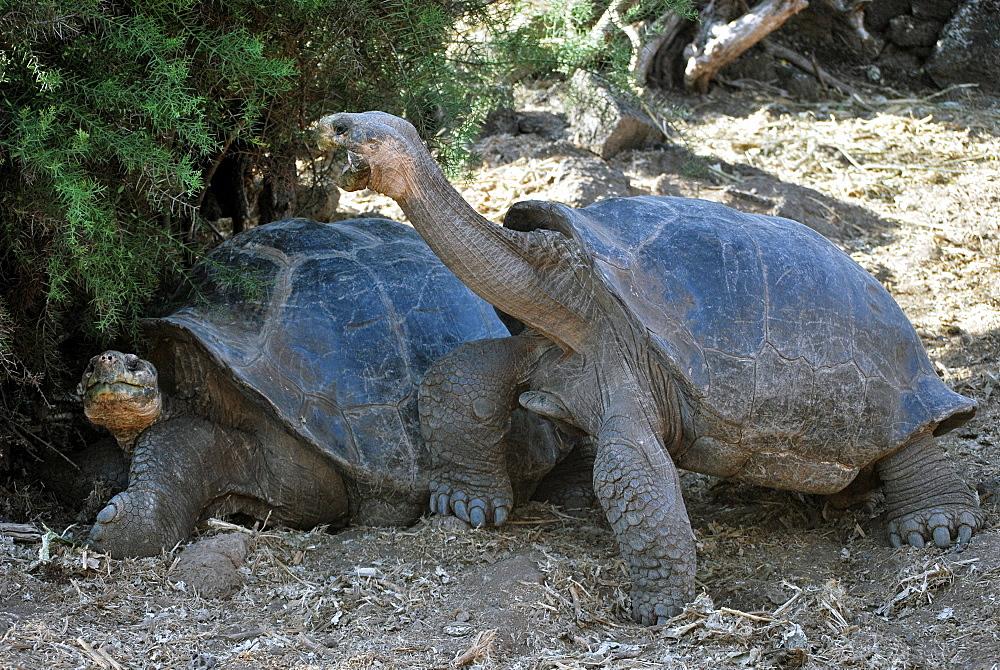 Galapagos giant tortoises, Santa Cruz Galapagos