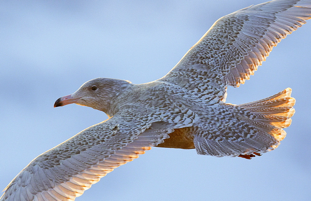 Glaucous Gull in flight, Norway