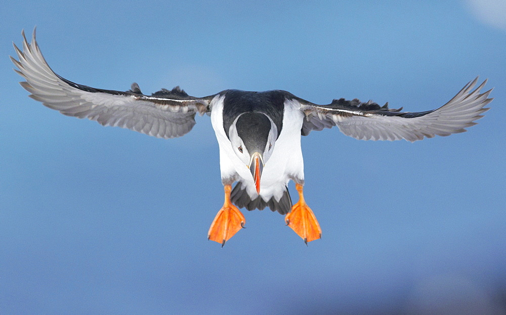 Puffin in flight, Norway