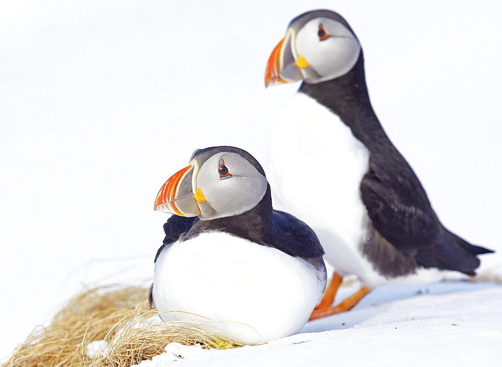 Couple of Puffin in the snow, Norway