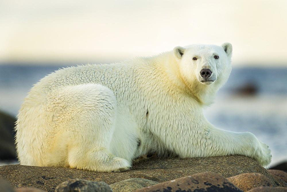 Polar Bear resting on rocky shoreline, Hudson Bay Canada
