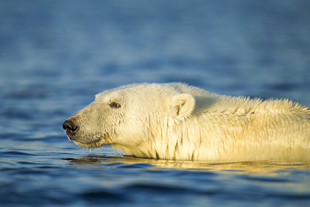 Polar Bear wading in shallow water, Hudson Bay Canada