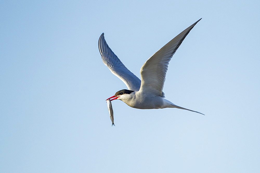 Arctic Tern holding small fish in flight, Hudson Bay Canada