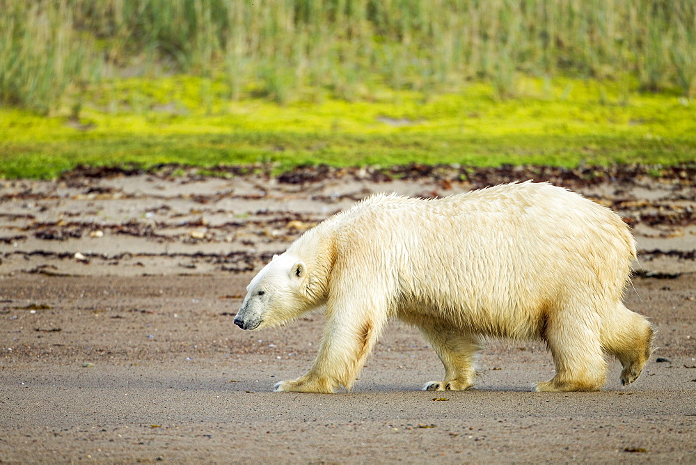 Polar Bear walking along sandy shoreline, Hudson Bay Canada