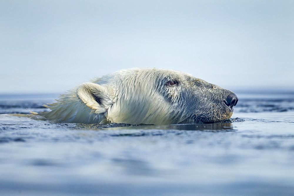 Portrait of Polar Bear swimming, Hudson Bay Canada