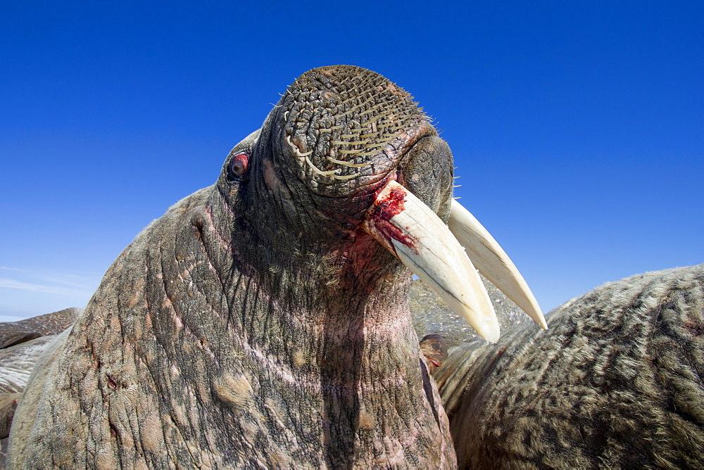 Portrait of Walrus resting on iceberg, Hudson Bay Canada