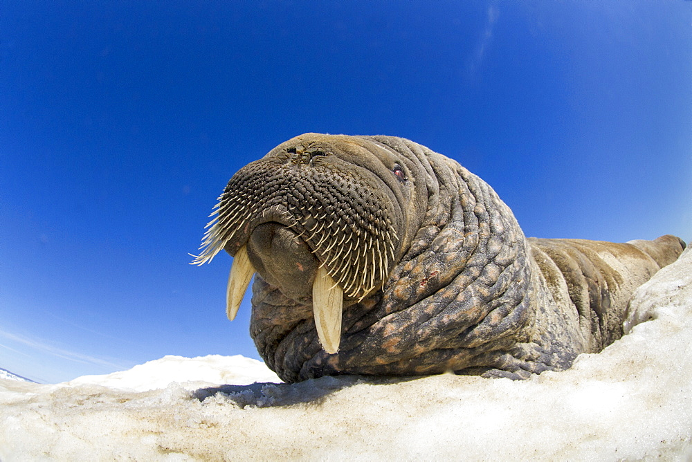 Walrus resting on iceberg, Hudson Bay Canada