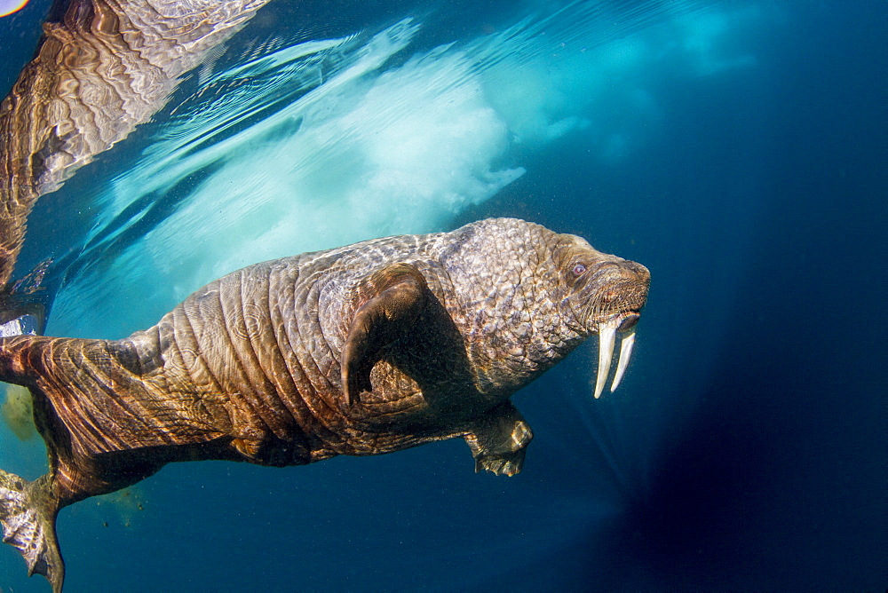 Walrus under water, Hudson Bay Canada
