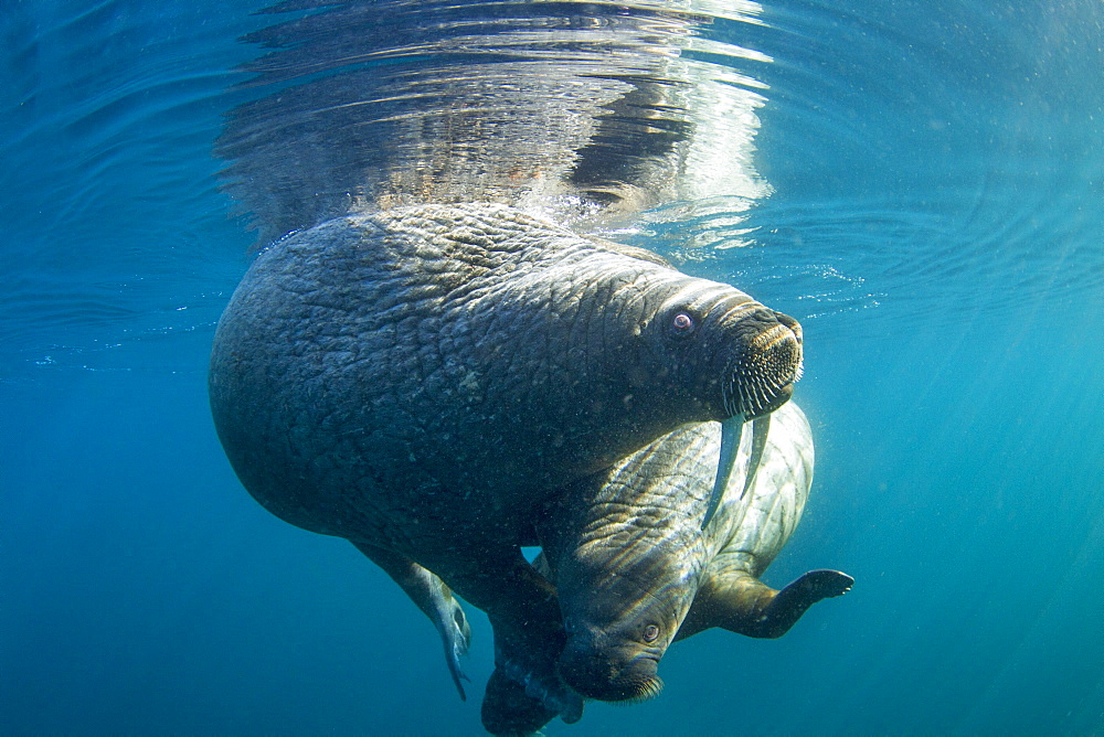 Walrus and calf under water, Hudson Bay Canada
