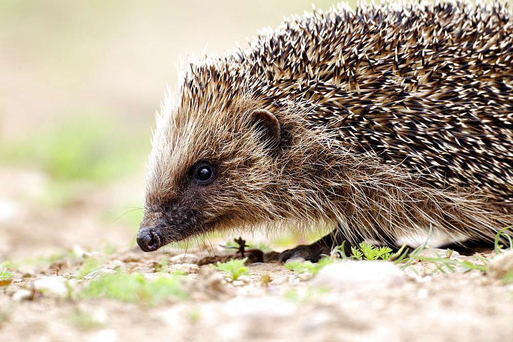 Western European Hedgehog walking, Midlands UK