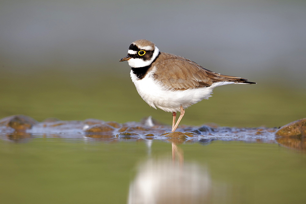 Little-ringed plover on bank- Midlands UK