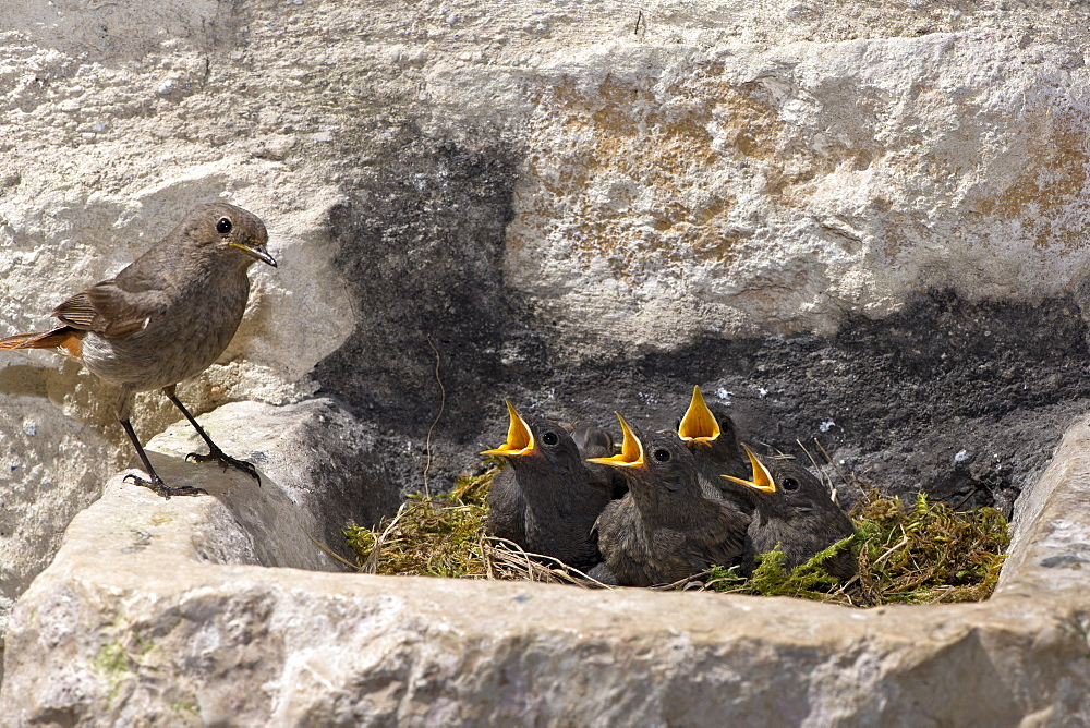 Black redstarts and chicks at nest, France