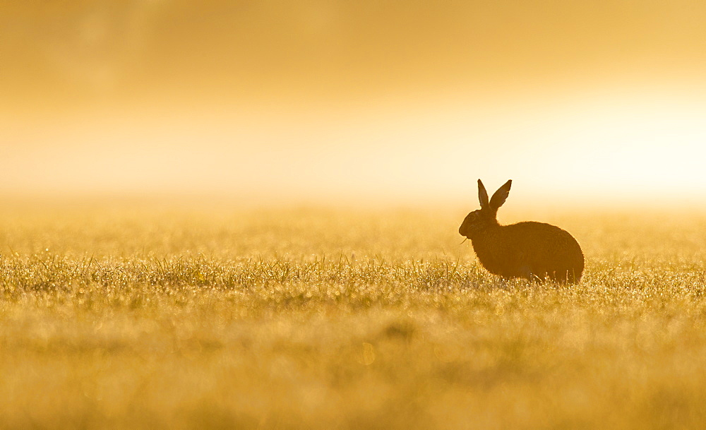 Brown Hare in a meadow at spring at sunrise, GB