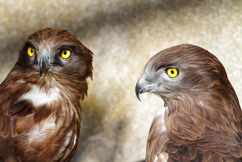 Short-toed Snake-eagle pair, France