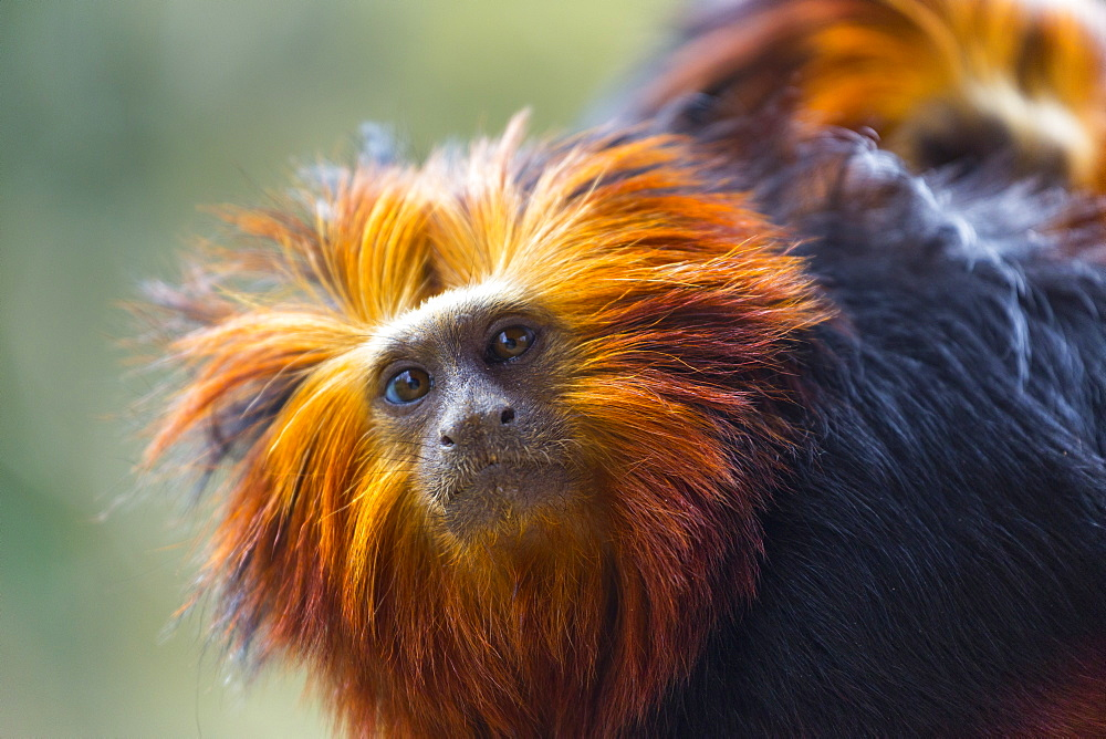 Portrait of Golden-headed lion tamarin
