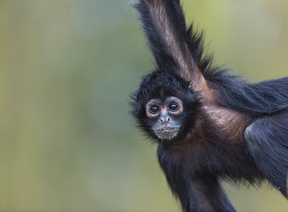 Portrait of Black-headed spider monkey hanging on a branch