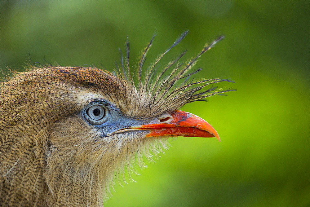 Portrait of Red-legged Seriema