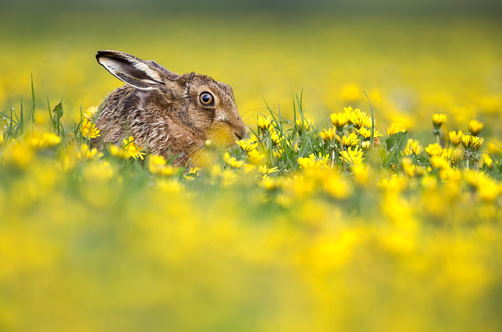 Brown Hare among dandelion flowers at spring, GB