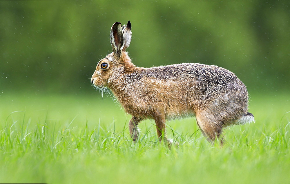 Brown Hare in a meadow in the rain at spring, GB