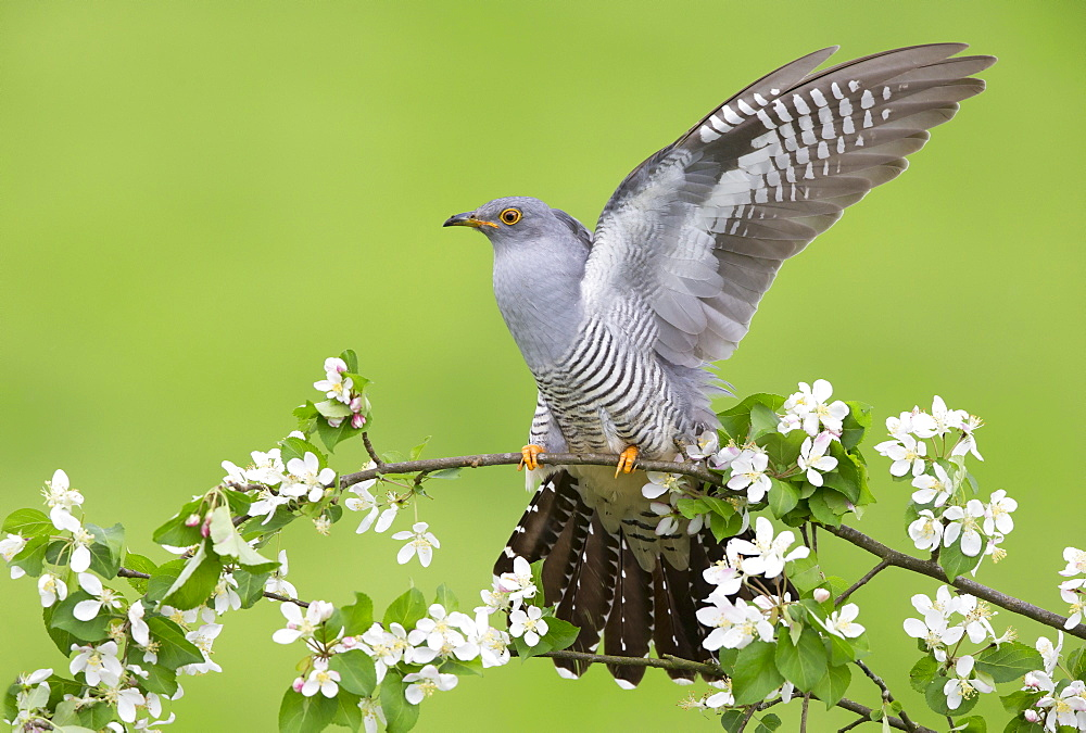 Cuckoo perched in a blooming tree at spring, GB
