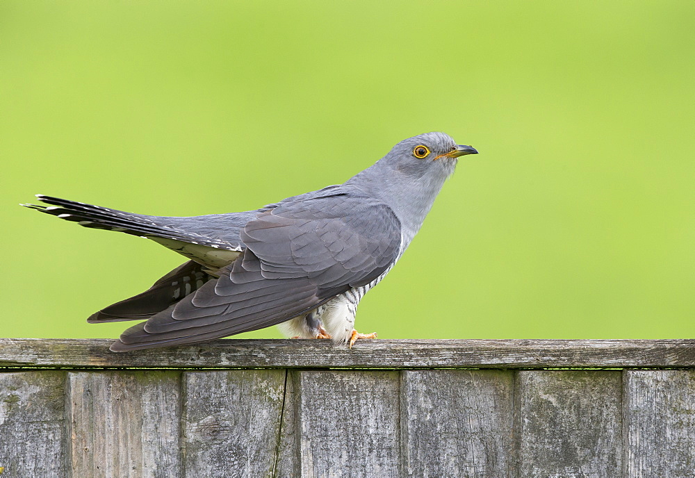 Cuckoo perched on a fence at spring, GB