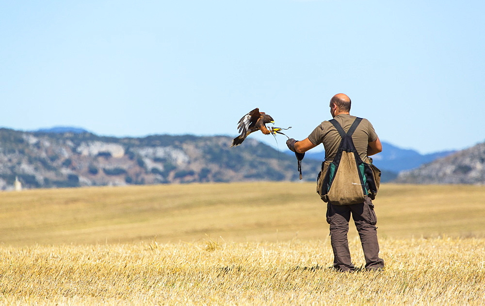 Falconer and raptor in flight, Burgos Spain