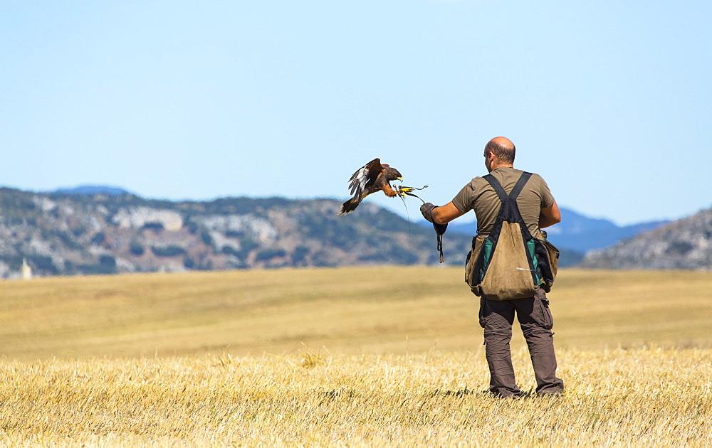 Falconer and raptor in flight, Burgos Spain