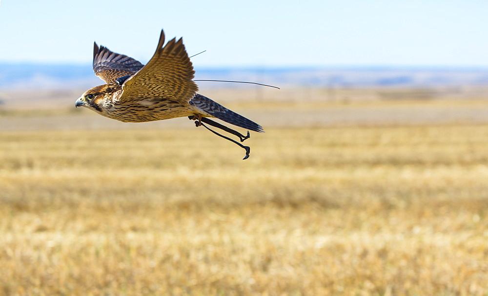 Raptor in flight wearing ties, Burgos Spain
