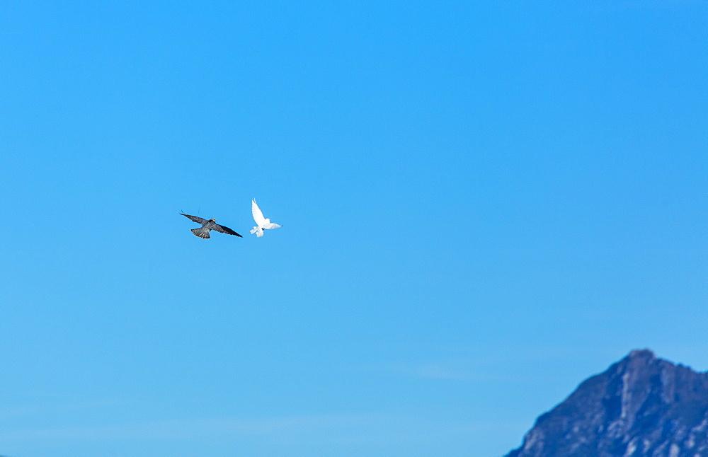 Raptors in flight, Burgos Spain
